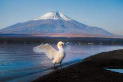 Witte Zwaan bij Meer Yamanaka met MT Fujiachtergrond Stock Afbeeldingen