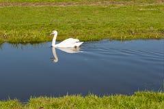 Witte zwaan die in een kleine stroom paddelen Stock Afbeelding