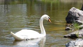 Witte zwaan die en dichtbij de bank van de rivier zwemmen eten stock footage