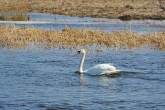 Witte zwaan die in het meer zwemmen Stock Foto's