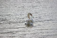 Witte zwaan die in het water zwemmen die erachter kijken van royalty-vrije stock foto