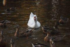 Witte zwaan die in meer zwemt Royalty-vrije Stock Foto