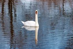 Witte zwaan die op de waterspiegel van de rivier drijven Stock Foto's