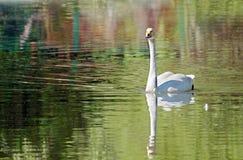 Witte zwaan die op een meer zwemmen Stock Foto's