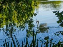 Witte zwaan die op groen water onder wilgentakken drijft stock foto's