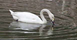 Witte zwaan die op het meer drijft Royalty-vrije Stock Foto