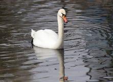 Witte zwaan die op het meer drijft Royalty-vrije Stock Afbeelding