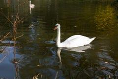 Witte zwaan die op het meer drijft nave Stock Fotografie