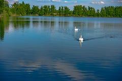 Witte zwaan die zacht in nog meerwater zwemmen Stock Afbeeldingen