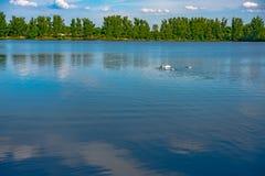 Witte zwaan die zacht in nog meerwater zwemmen Royalty-vrije Stock Foto's