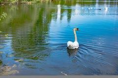 Witte zwaan die zacht in nog meerwater zwemmen Stock Foto