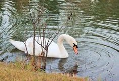 Witte zwaan in donkere vijver royalty-vrije stock afbeelding