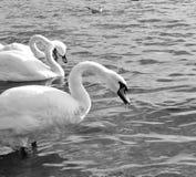 Witte zwaan drie op het meer Royalty-vrije Stock Foto