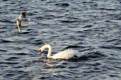 Witte Zwaan en Zeemeeuw Royalty-vrije Stock Afbeeldingen