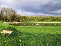 Witte zwaan in het meer stock foto