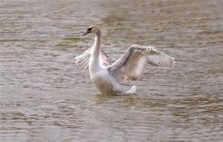 Witte zwaan het uitspreiden vleugels Royalty-vrije Stock Foto's