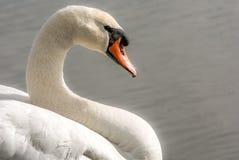 Witte zwaan in het water royalty-vrije stock afbeelding