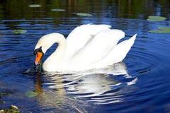 Witte zwaan met de gedute veren Stock Foto's