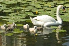 Witte zwaan met kuikens Stock Afbeelding