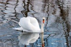 Witte zwaan met opgeheven vleugels die op de waterspiegel van de rivier drijven Stock Fotografie