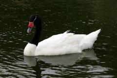 Witte zwaan met zwarte hals Royalty-vrije Stock Fotografie