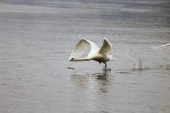 Witte zwaan op de rivier Stock Fotografie