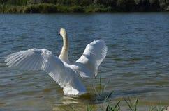 Witte zwaan op een meer met uitgespreide vleugels royalty-vrije stock foto