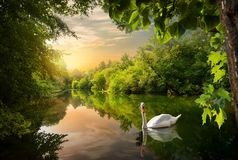 Witte zwaan op een vijver stock afbeeldingen