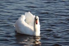 Witte zwaan op een vijver Royalty-vrije Stock Fotografie