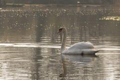 Witte zwaan op een zonnige ochtend stock afbeeldingen