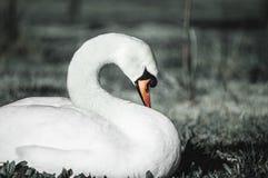 Witte zwaan op het gras royalty-vrije stock afbeeldingen