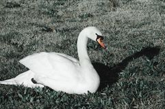 Witte zwaan op het gras stock fotografie