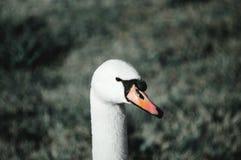 Witte zwaan op het gras stock afbeeldingen