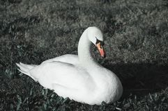 Witte zwaan op het gras stock foto