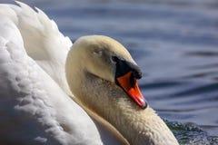 Witte zwaan op het meer stock fotografie