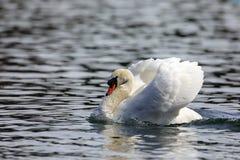 Witte zwaan op het meer royalty-vrije stock foto