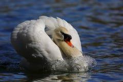 Witte zwaan op het meer royalty-vrije stock foto's