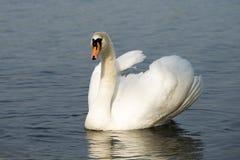 Witte zwaan op het meer Stock Afbeeldingen