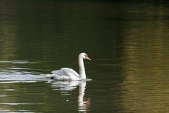 Witte zwaan op het meer op een zonnige dag royalty-vrije stock afbeeldingen