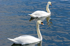 Witte zwaan op het water Royalty-vrije Stock Afbeelding