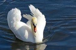 Witte zwaan op het water Royalty-vrije Stock Foto
