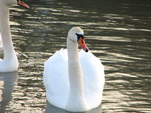 Witte zwaan op het water Stock Afbeeldingen
