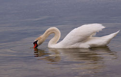 Witte zwaan op waterspiegel. Royalty-vrije Stock Afbeelding