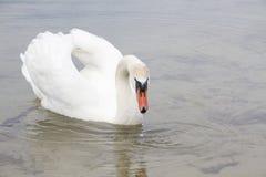 Witte zwaan op waterspiegel. Stock Foto