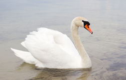 Witte zwaan op waterspiegel. Stock Fotografie