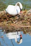 Witte Zwaan op zijn nest Stock Afbeelding