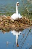 Witte Zwaan op zijn nest Stock Afbeeldingen