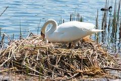 Witte Zwaan op zijn nest Stock Foto