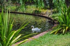 Witte zwaan in park of tuinmeer royalty-vrije stock foto's