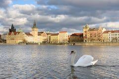 Witte zwaan in Praag Stock Afbeeldingen